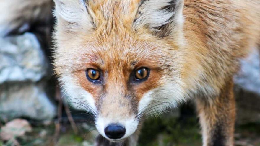 El hombre mordido por un zorro en Castellón falleció por listeria y no por meningitis