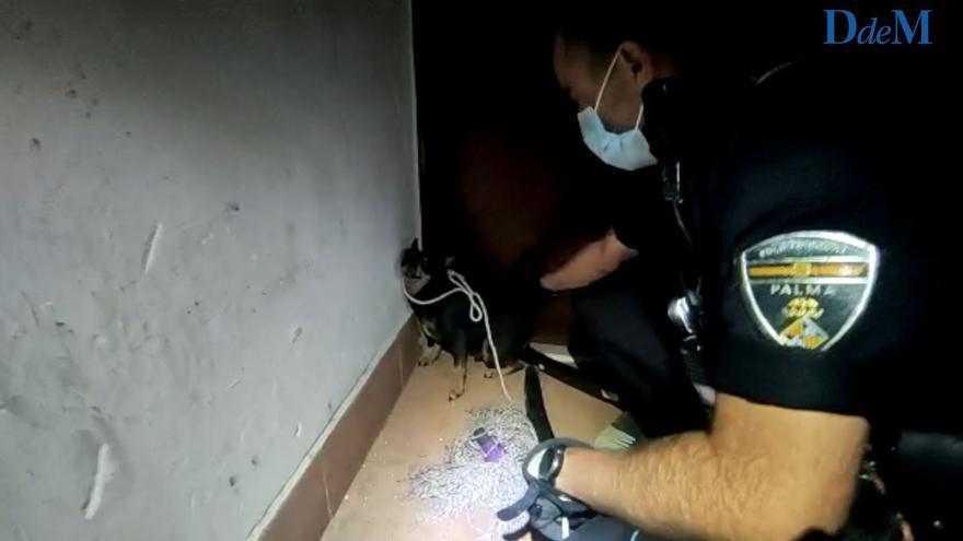 La Policía de Palma captura a un chihuahua agresivo en una finca de Corea