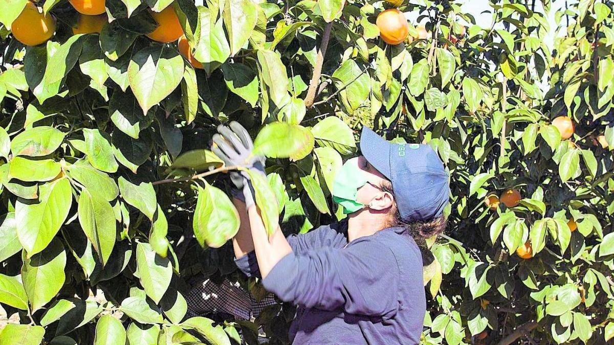 La DO Kaki Ribera reúne el 90% de la producción nacional