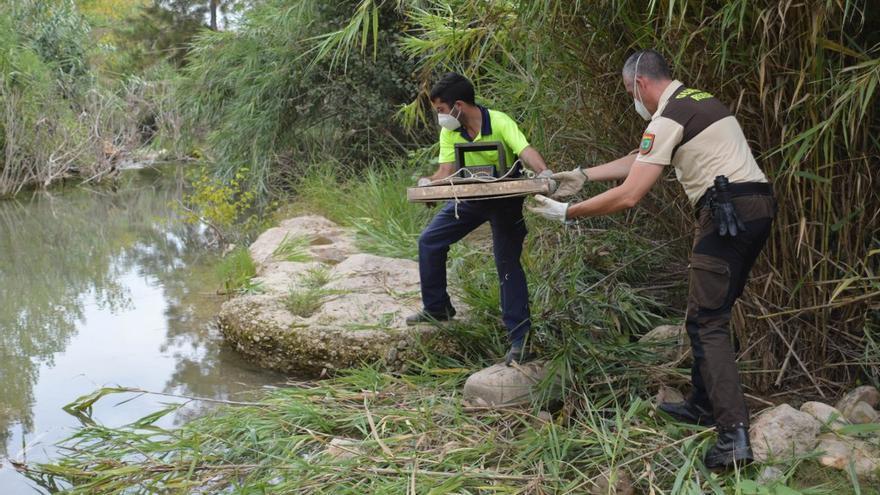 El Consorcio del Millars suspende el control de visones tras detectar covid-19 en dos ejemplares