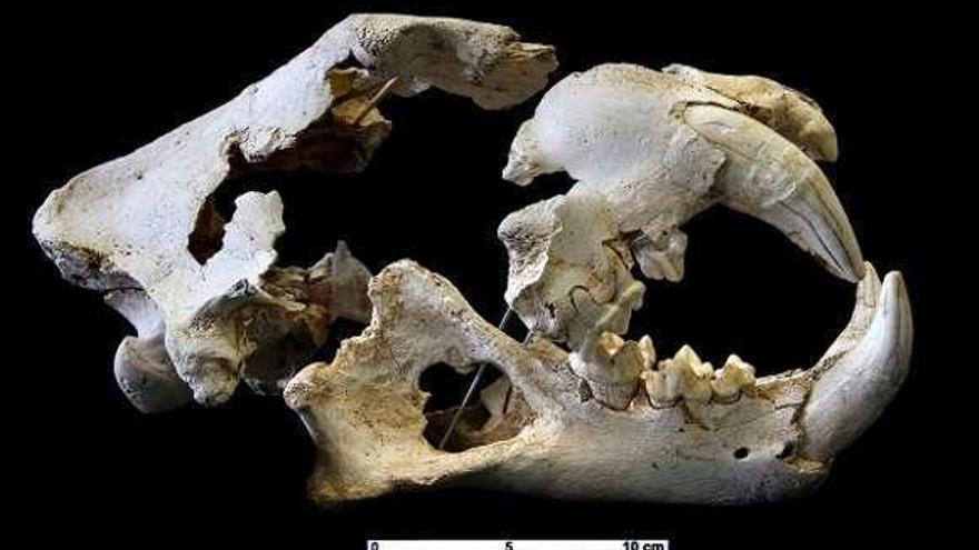El león de las cavernas localizado en una sima de Porrúa vivió hace 43.000 años