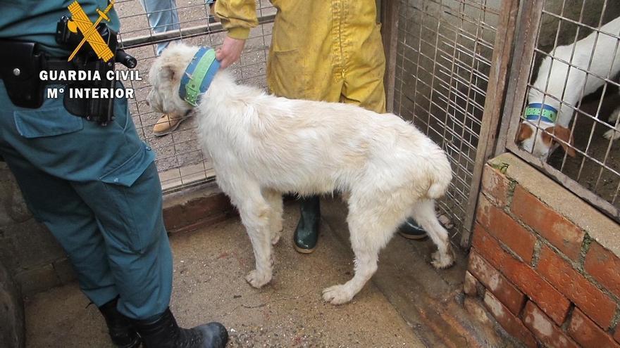 Detenida una persona e investigadas otras tres por cortar las orejas y el rabo a 107 perros