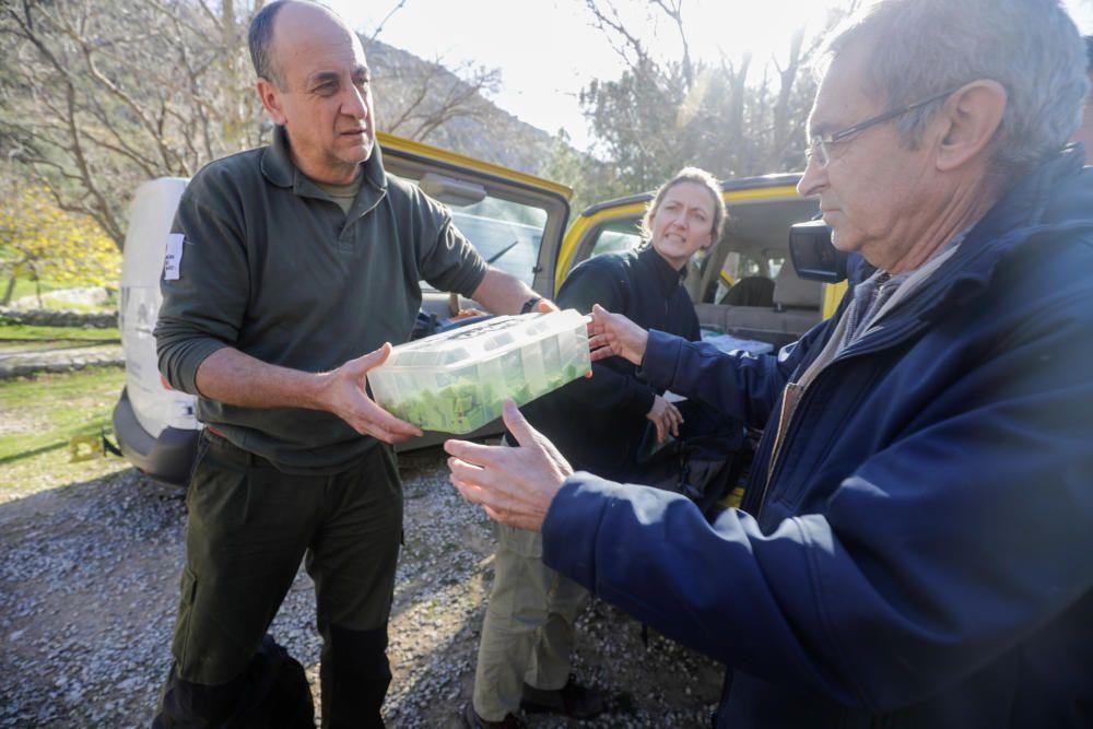 So kehren 88 Mallorca-Winzlinge in die Freiheit zurück
