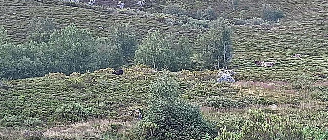 Una foto tomada por ganaderos de Caso, con un oso a la izquierda de la imagen y ganado a la derecha.