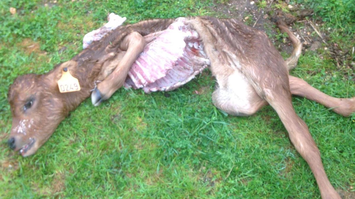 Una de las terneras afectadas por el ataque de lobo en Andavías