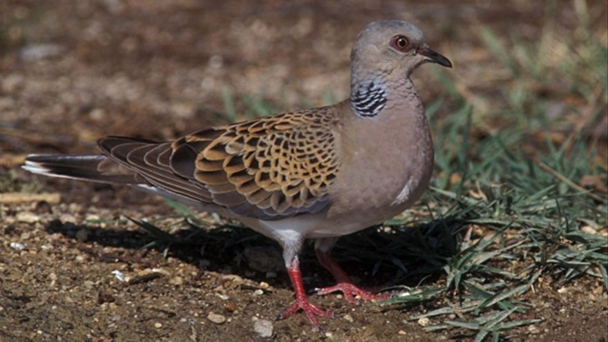 Las cinco aves valencianas en peligro de desaparición