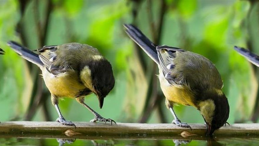 Cuando el coronavirus cambió el canto de los pájaros