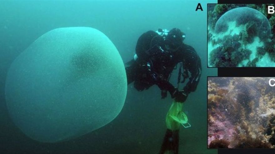 Esta es la explicación al misterio de los globos gelatinosos marinos
