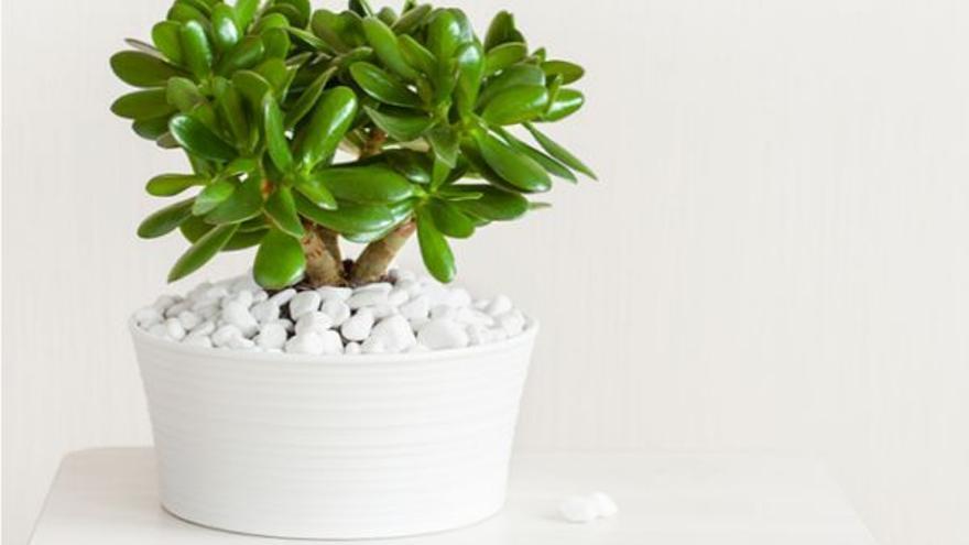 Crassula ovata, la última tendencia para decorar tu casa con plantas
