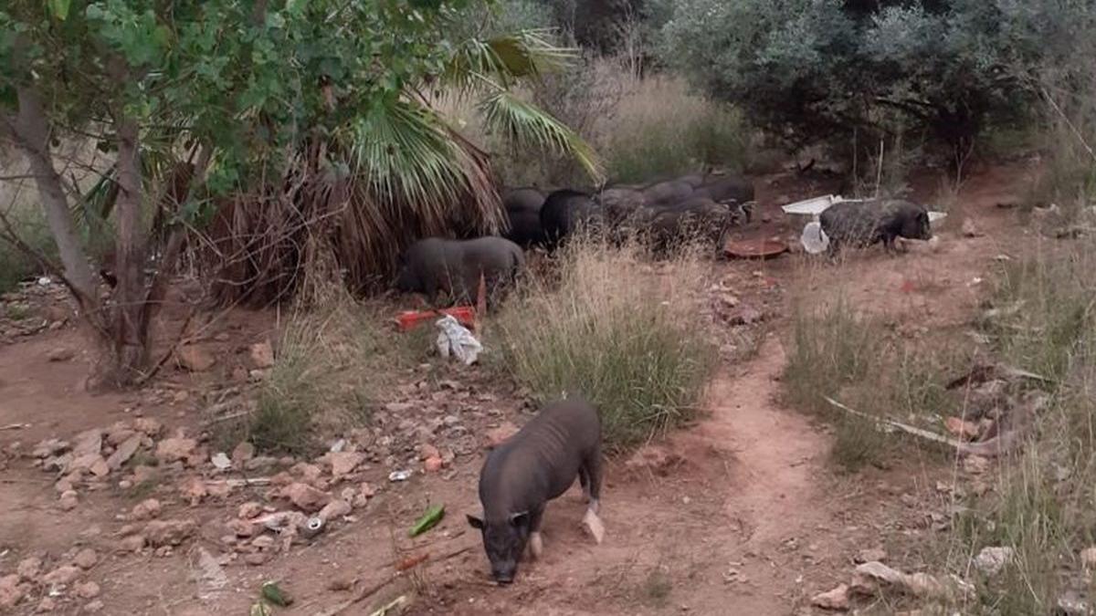 Imagen de la piara de cerdos.