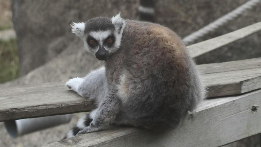 Denuncian la desaparición de un lémur de un zoo de Lugo