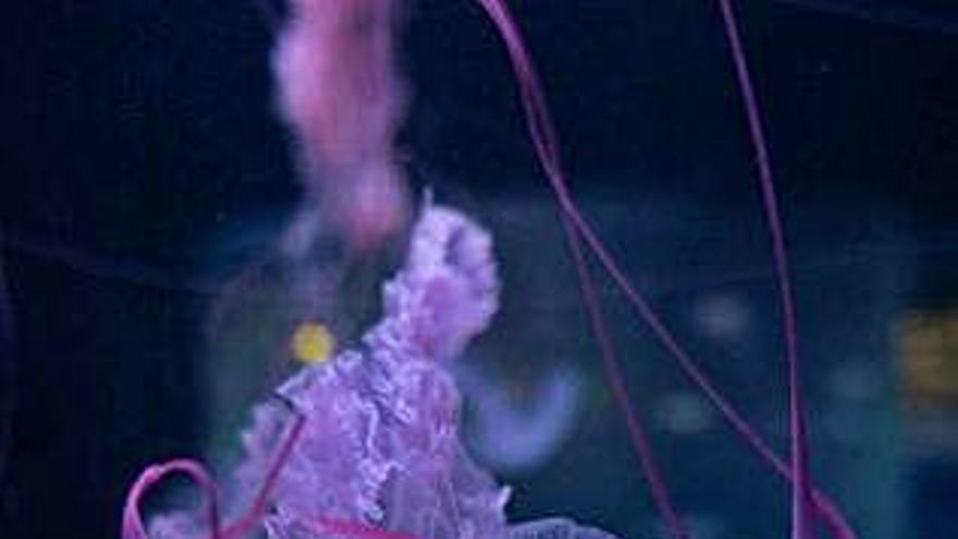 Loro Parque, único lugar de España que exhibe 9 especies de medusas