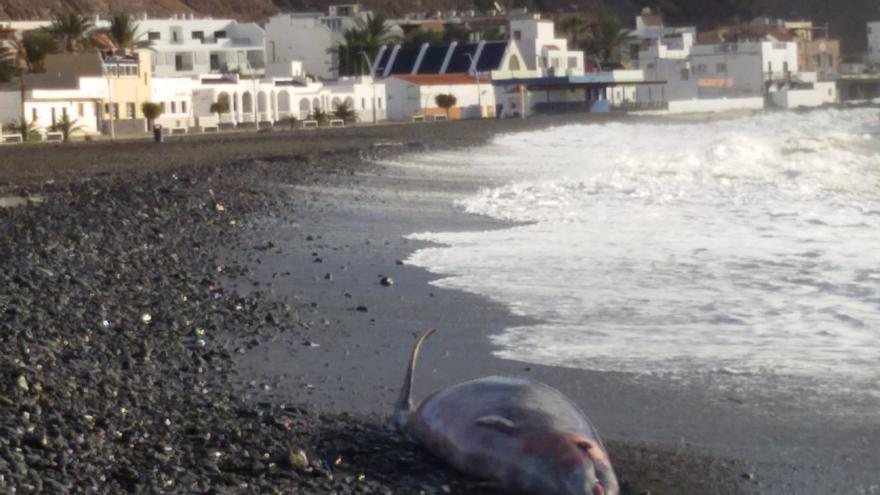 El cadáver de un zifio de cuatro metros aparece en una playa de Tuineje