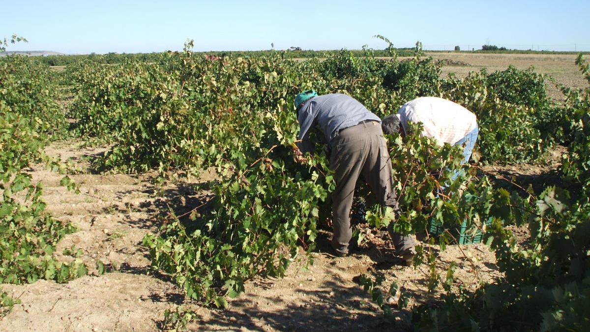"""La DO Vino de Toro propone incorporar el moscatel y el albillo real como variedades """"secundarias"""""""