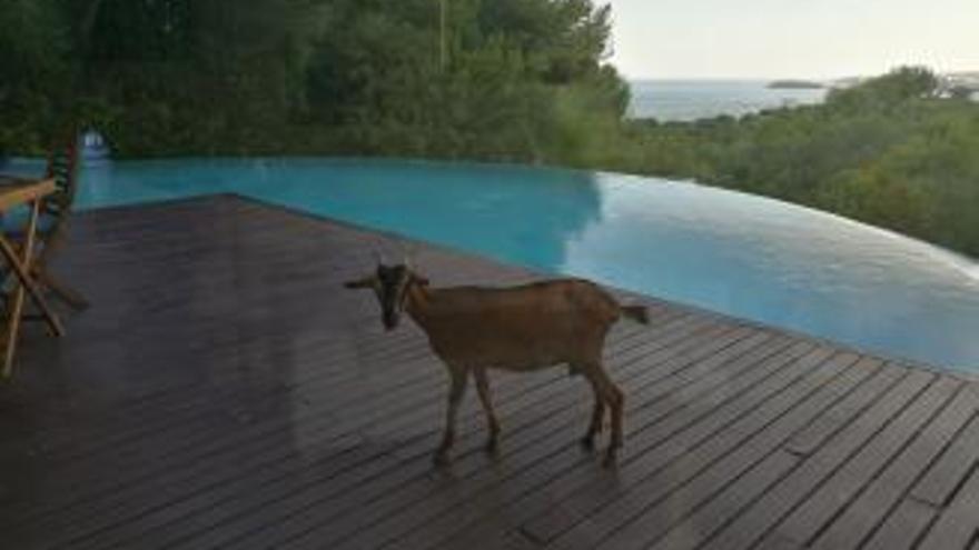 Verwilderte Ziegen suchen Grundstücke in Costa d'en Blanes heim
