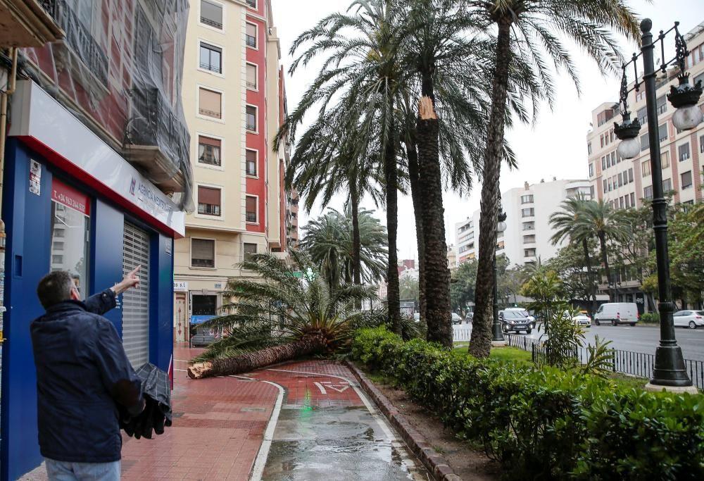 Palmera caída en la Gran Vía Germanies de València