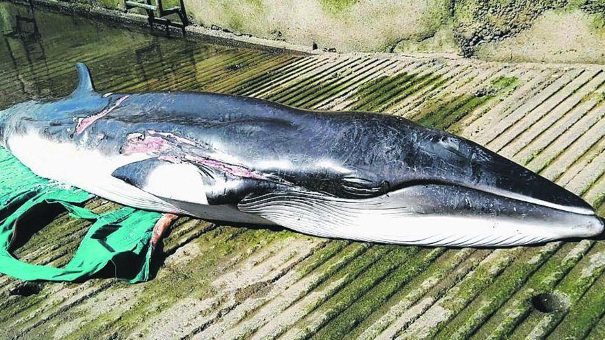 """Hallan niveles """"no preocupantes"""" de metales tóxicos en cetáceos varados en Canarias"""