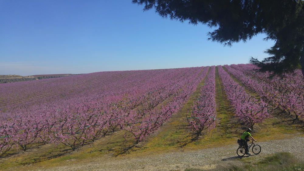 Aitona. A la comarca del Segrià podem trobar camps d'arbres fruiters com aquests, ben acolorits i plens de vida a mesura que s'apropa la primavera, impregnats d'aquest to rosa fins on ens arriba la vista.