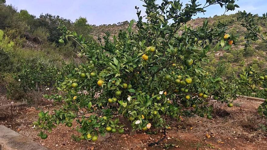 Las cabras montesas llegan a Montroi y destrozan las plantaciones de frutales