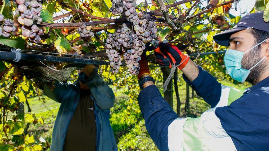 Las uvas con mal aspecto que dan un albariño exquisito