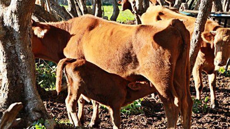 Die glücklichen Mallorca-Kühe von Llubí