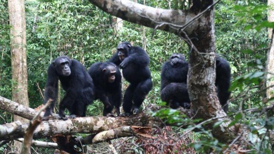 Los chimpancés dan la vida por sus hermanos