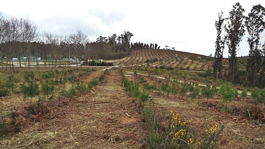 Los comuneros de Budiño y Parderrubias reforestan 27 hectáreas de monte quemado