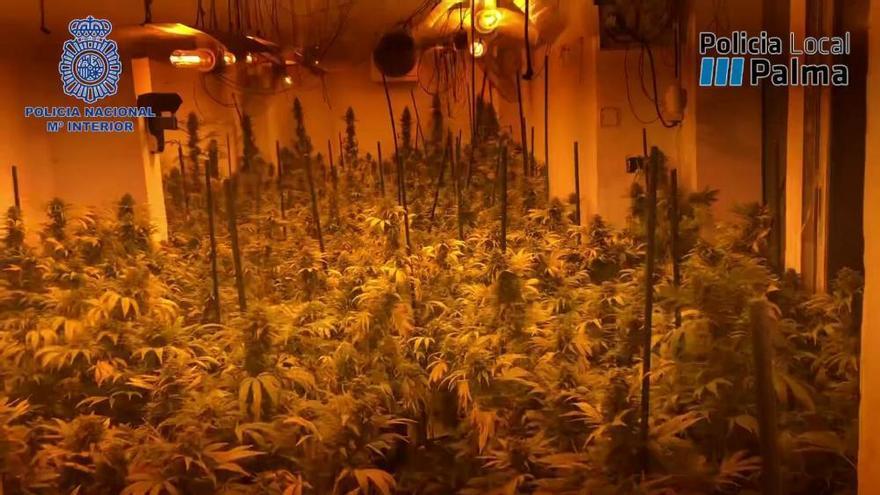 La Policía desmantela el punto de abastecimiento de marihuana del parque Wifi de Palma