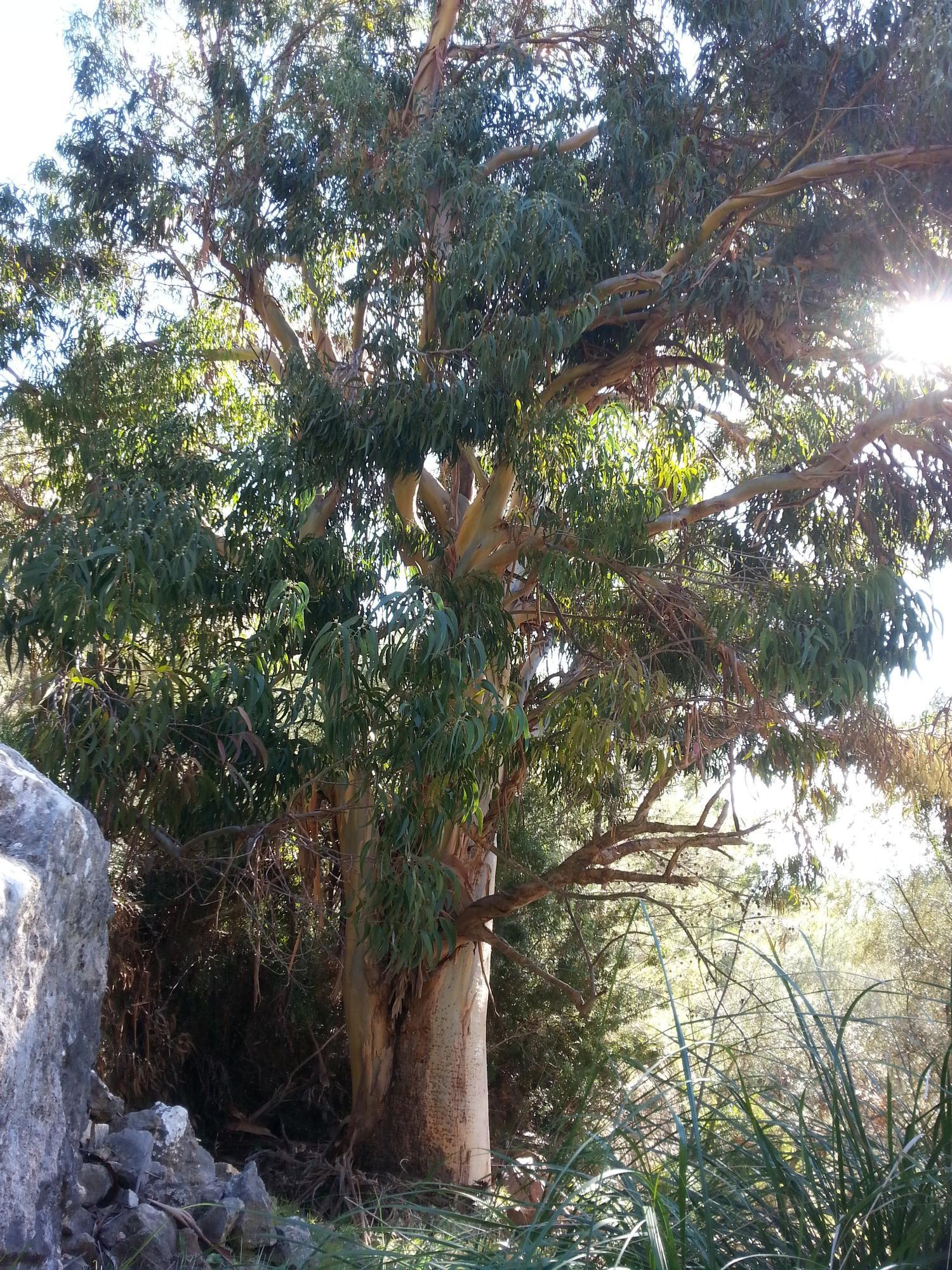 El catálogo de árboles singulares suma cinco nuevos ejemplares y un conjunto de plataneros