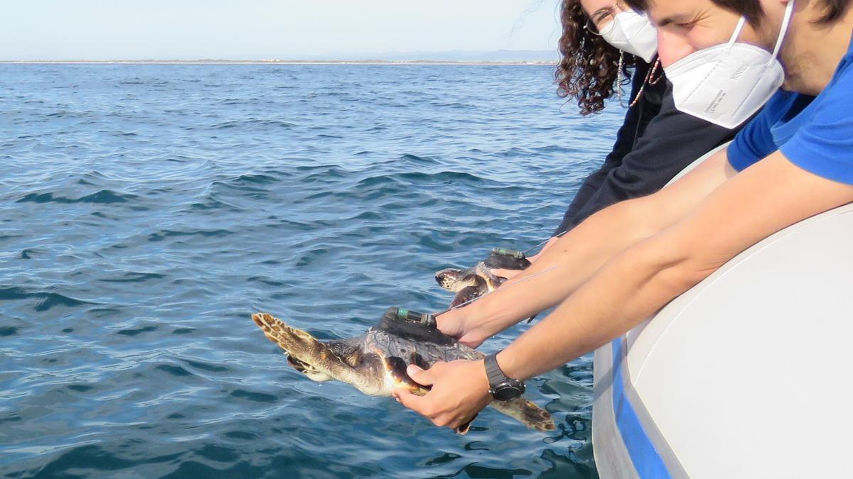 Dos tortugas nacidas en Ibiza en Ibiza y rescatadas en Valencia han sido puestas en libertad este jueves