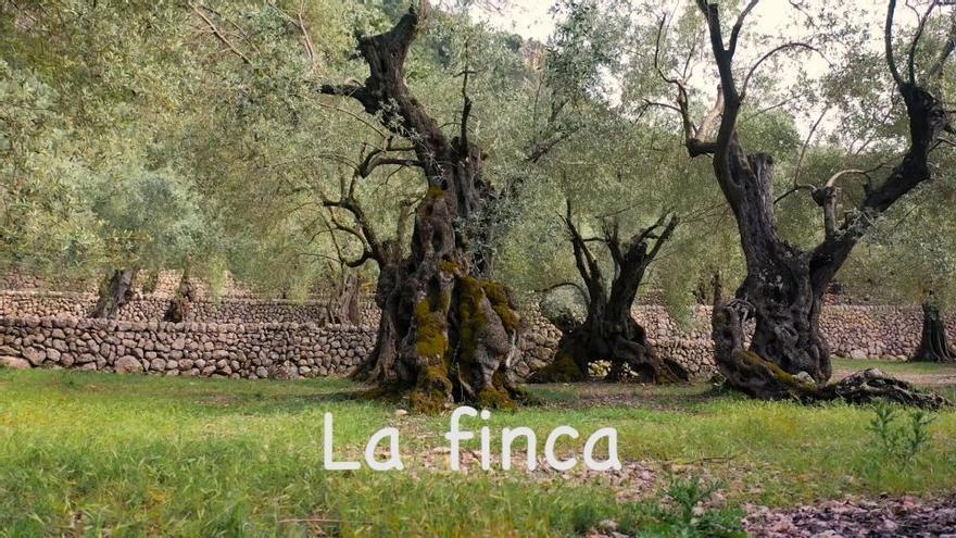 Auf diesen Olivenbaum ist Mallorca mächtig stolz