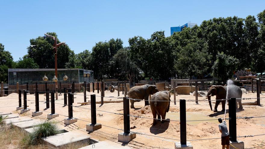 Els tres elefants del zoo de Barcelona estrenen nou fangar a les instal·lacions