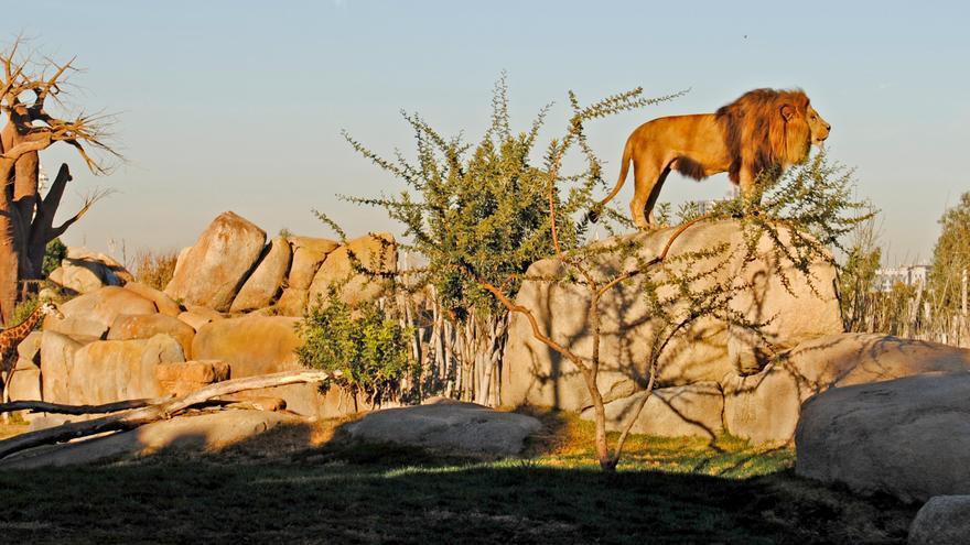 Las mejores opciones para acercarse a leones, jirafas o tigres sin salir de España