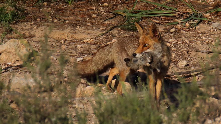 Un zorro con su captura, captado en el parque natural de las lagunas de La Mata y Torrevieja, donde este animal ha sido avistado esta semana.