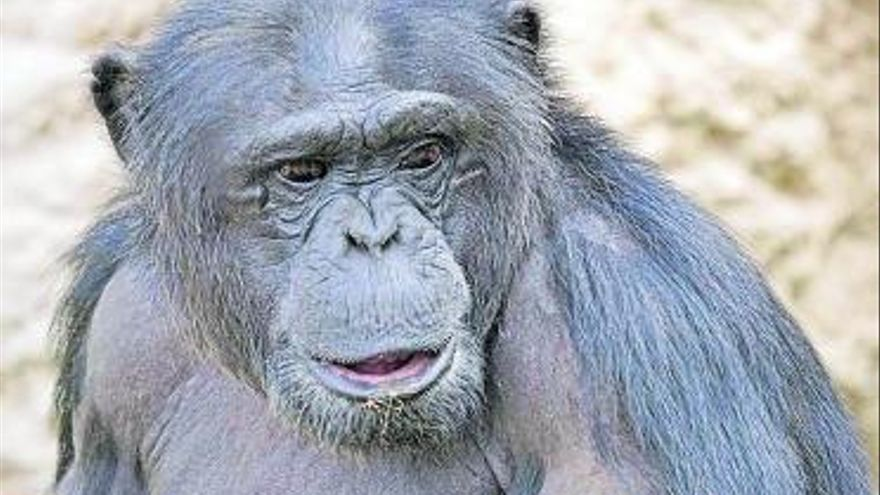 Cuando los chimpancés empezaron a hablar