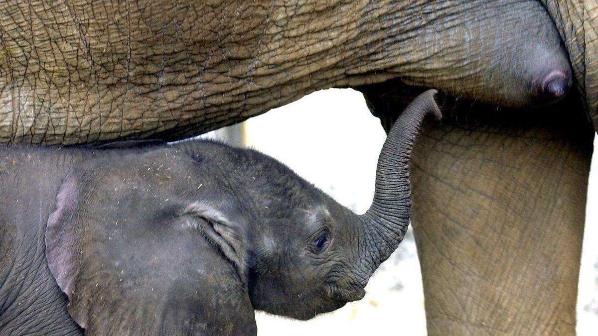 Muere un trabajador del parque de Cabárceno tras ser golpeado por un elefante