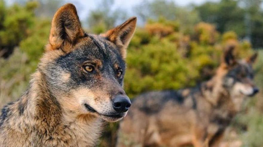 La memoria viva de los lobos valencianos