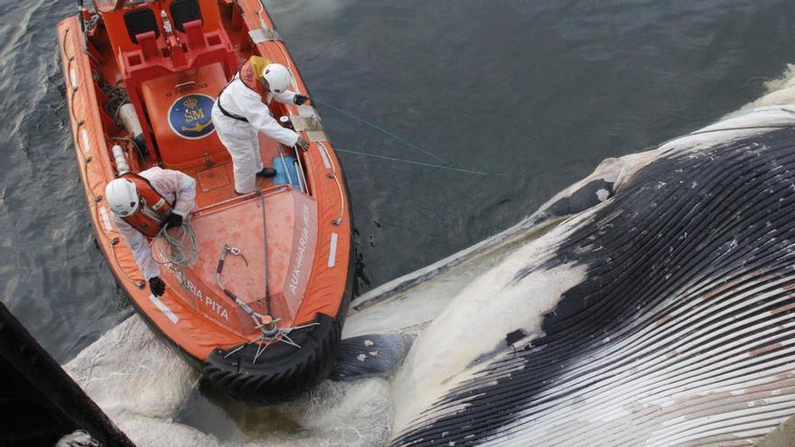 Remolcan en Bueu una ballena muerta de 20 metros
