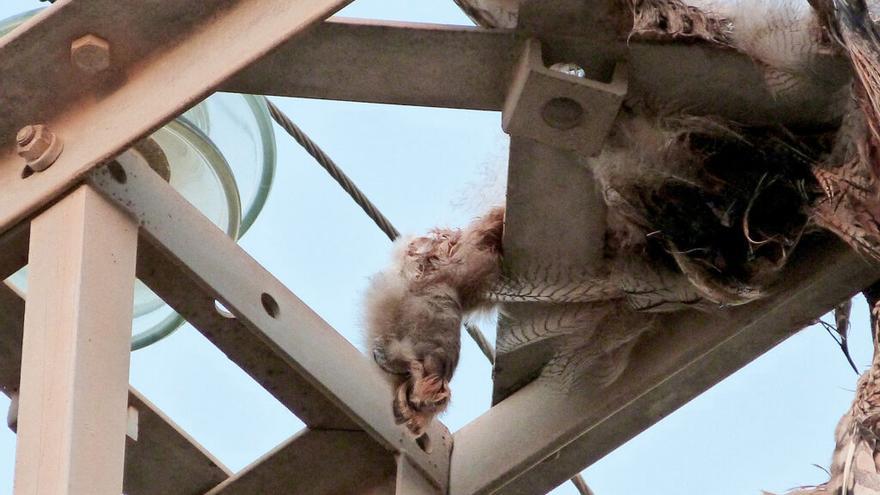 933 aves han muerto electrocutadas en la Región en los últimos ocho años