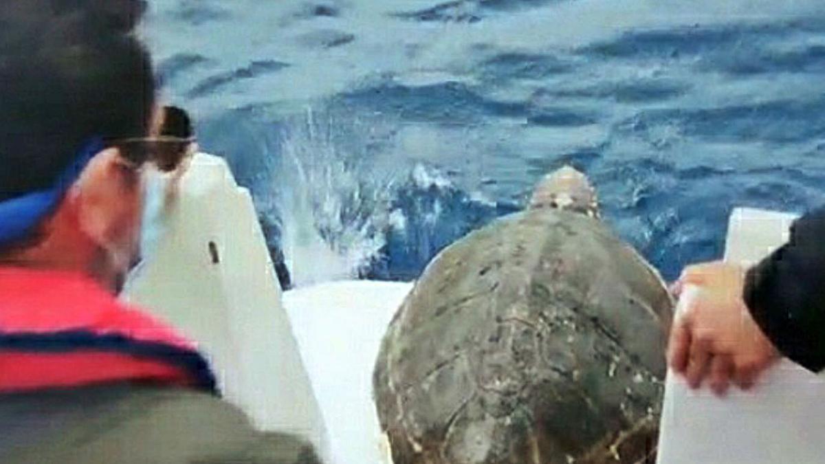 Una tortuga boba, devuelta al mar tras coger fuerza en Gijón   PRINCIPADO DE ASTURIAS