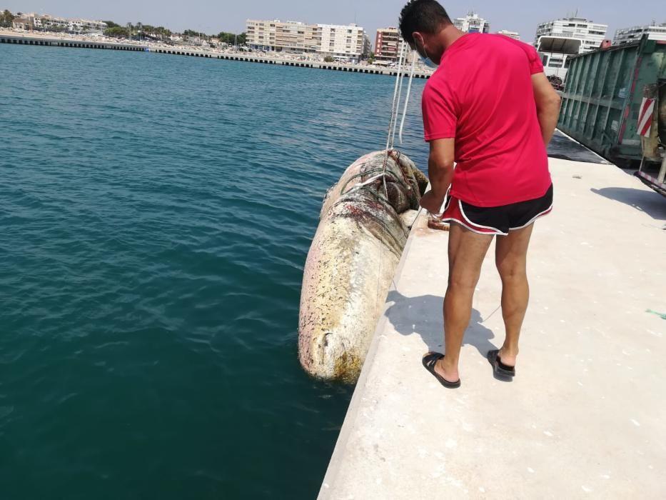 Tareas de retirada y conservación de la cabeza del cachalote encallado en Torrevieja