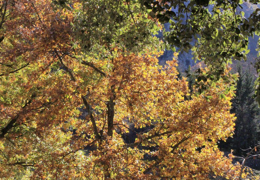 Tardor. Les fulles dels roures agafen un to daurat, típic d'aquesta època. Ala imatge, una roureda ben daurada.
