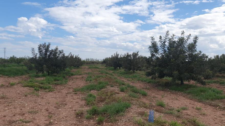 Fiebre por las algarrobas en Castellón