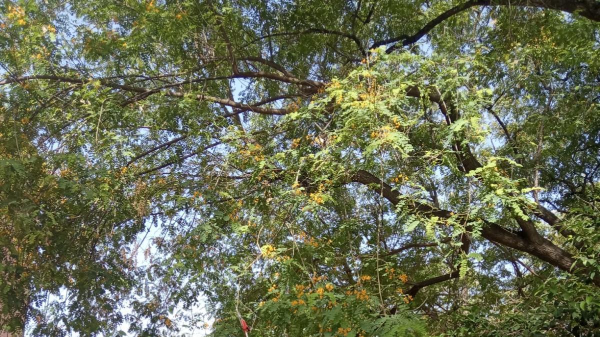 Un equipo es el encargado de poner a punto los árboles de todo el municipio.