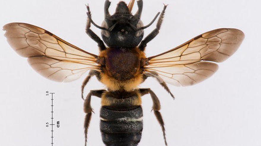 Detecten una espècie d'abella gegant de la resina provinent de l'Àsia a Catalunya