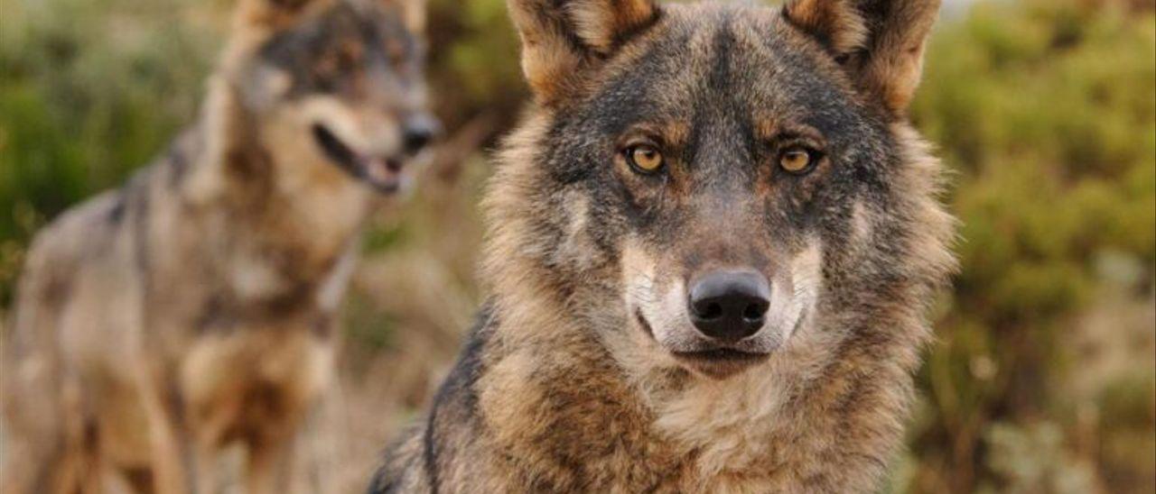Un lobo