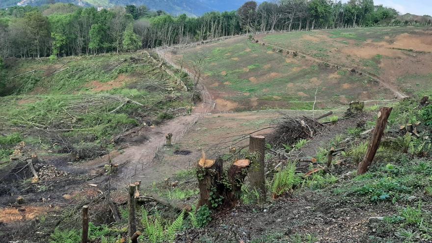 El Carbayu planifica otra fase de plantación de castaños tras adquirir dos parcelas