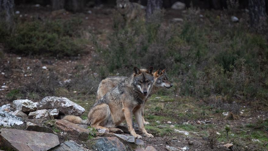 La Diputación de Zamora presenta alegaciones para mantener el estatus del lobo