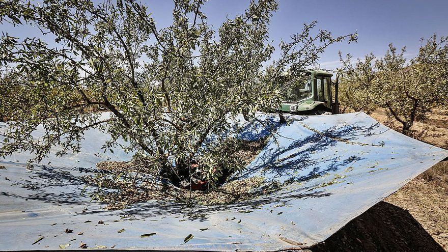 La Unió prevé un descenso del 15% en la cosecha de almendra en la provincia