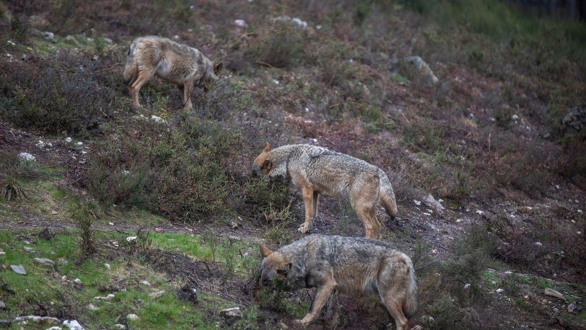 Lobos en semicatividad en el Centro del Lobo Ibérico de Robledo